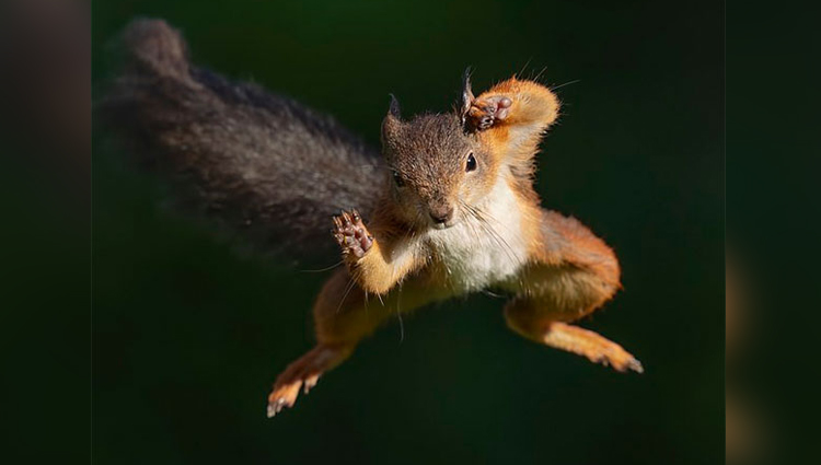 Photographer captures red squirrel flying after spending 4 year