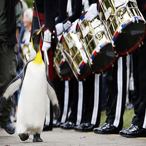 Penguin has made a guard of honor