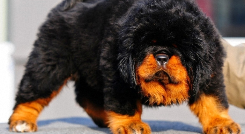 worlds most expensive pet animals