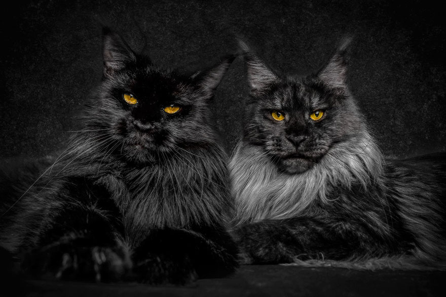 Amazing photography cats by Robert Sijka
