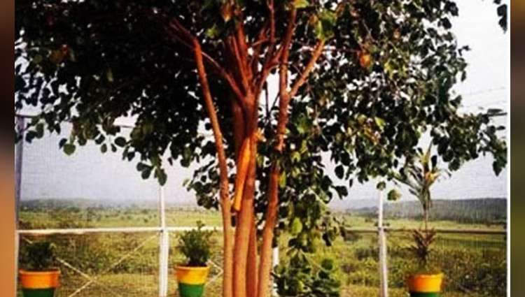 A Tree Which Is Planted In Madhya Pradesh Has Been Enjoying A VIP Treatment