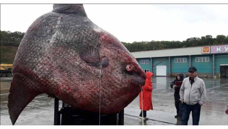 Russian Fishermen Haul Up A Gargantuan 1 Ton Ocean Sunfish