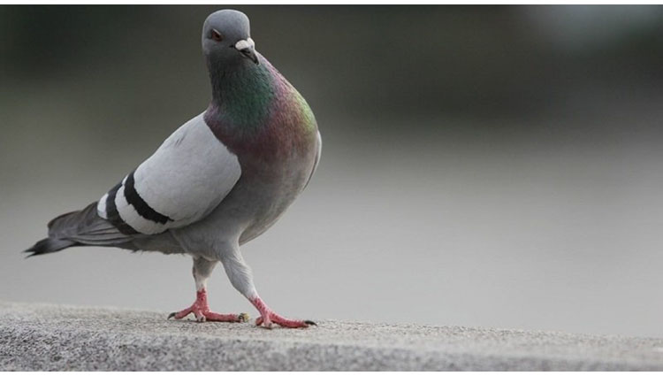 Bizarre Pigeon allowed to travel without ticket on bus conductor slapped with memo by Tamil Nadu State Transport Corporation