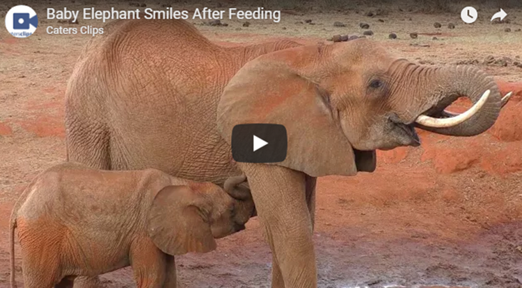 Baby Elephant Smiles After Feeding