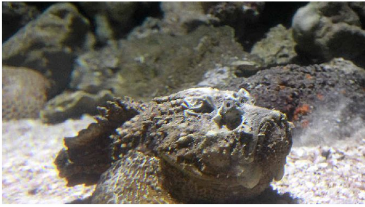 Stonefish The Most Venomous Fish in the World