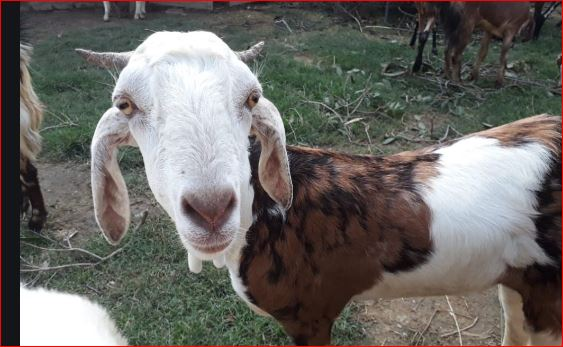 Two goats arrested in Telangana for eating saplings planted