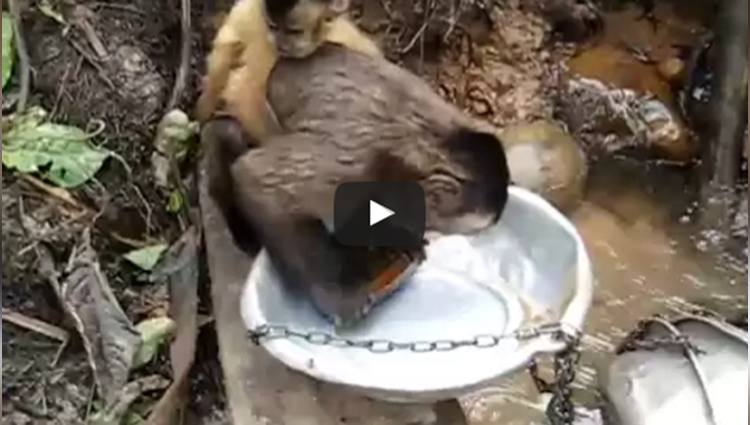monkey wash dishes