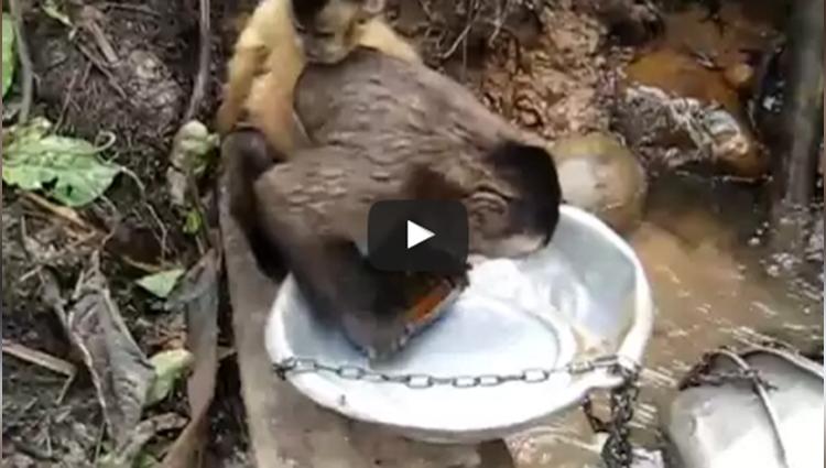 monkey wash dishes