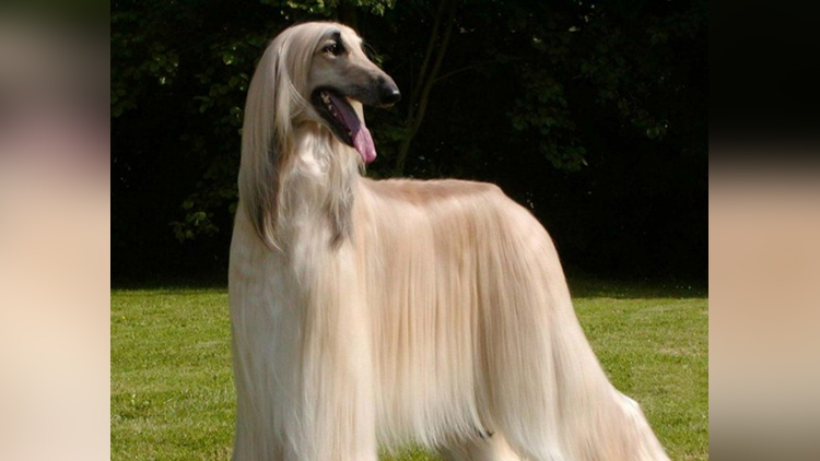 world's most expensive dogs