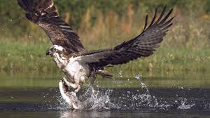 osprey fishing in spectacular