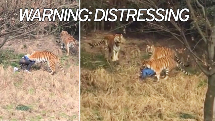 Man Climbs Into Tiger Enclosure And Gets Mauled Attacked At Zoo In Ningbo China